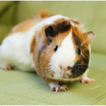 Why Guinea Pigs are Awesome Pets?